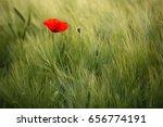 sunlit red wild poppy shot with ... | Shutterstock . vector #656774191