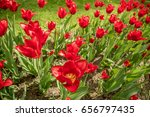 many red tulips with green... | Shutterstock . vector #656797435