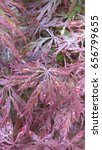 Small photo of Purple Acer, japanese maple with raindrops