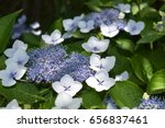 Rare Hydrangea Closeup
