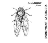 hand drawn ink sketch of cicada ... | Shutterstock .eps vector #656882815
