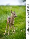 Young Wild Roe Deer In Grass ...
