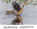 anatidae is a family of birds... | Shutterstock . vector #656947474