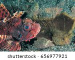 Small photo of Raggy scorpionfish, Scorpaenopsis venosa, and cockatoo waspfish, Ablabys taenianotus, Sulawesi, Indonesia.