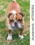 angry english bulldog posing...   Shutterstock . vector #657030301