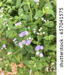 Small photo of Ageratum Houstonianum, Thailand herbs
