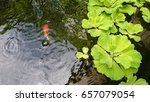 Golden Fish Swim In Pond With...