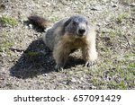 The Marmot Just Released From...