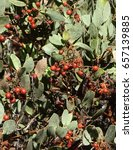 Small photo of Autumn manzanita berries and leaves