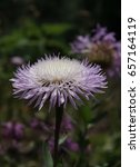 Small photo of An up close view of a purple Basket flower or American Star Thistle in full bloom