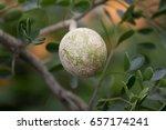 wood apples or kod bel in the... | Shutterstock . vector #657174241