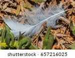 White Fluffy Feather On The...