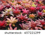 aechmea fasciata | Shutterstock . vector #657221299