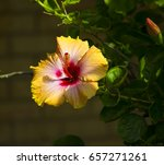 bright yellow suffused with...   Shutterstock . vector #657271261