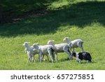 sheepdog with herd of sheep in...   Shutterstock . vector #657275851