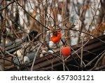 eating sweet persimmon of... | Shutterstock . vector #657303121