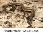Small photo of Snake eyed skink (Ablepharus kitaibelii fitzingeri)