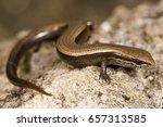 Small photo of Snake eyed skink (Ablepharus kitaibelii fitzingeri)