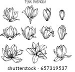 pink magnolia flowers drawing... | Shutterstock .eps vector #657319537