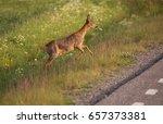 Small photo of Roe deer (Capreolus capreolus)