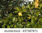 ornamental large yellow flower... | Shutterstock . vector #657387871