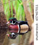 Small photo of Wood Duck - Aix sponsa