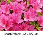 Azalea Flowers In Full Bloom.