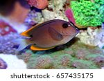 Small photo of Tomini Tang, bristletooth tomini tang, Flame Fin Tomini Tang, or Tomini Surgeonfish, Ctenocheatus tominiensis as a juvenile, the features yellow, blue, and white highlights. Family: Acanthuridae