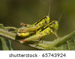 Mating meadow grasshoppers ...