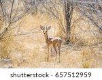 male steenbok antelope ... | Shutterstock . vector #657512959