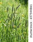 Small photo of Field meadow foxtail grass Alopecurus pratensis