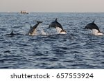several jumping dolphins at... | Shutterstock . vector #657553924