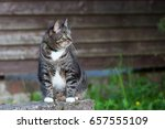 domestic  cat outdoors sitting... | Shutterstock . vector #657555109