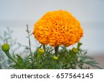 Close Up Of An Orange Marigold...