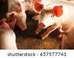 Small Piglet Sleep In The Farm...