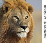 Lion king with golden mane, Serengeti, Tanzania, East Africa - stock photo