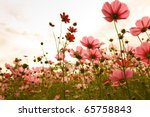 cosmos flowers in sunset | Shutterstock . vector #65758843