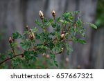 Rose Hip Buds  Branch Of A...