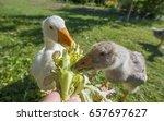 feeding geese | Shutterstock . vector #657697627