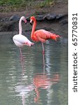 Two Flamingo In Lake