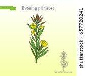 evening primrose  oenothera... | Shutterstock .eps vector #657720241