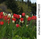 a mass of red and white tulips | Shutterstock . vector #657748135