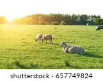 Sheep In A Field With Sunshine...
