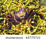 Red Rock Crab  Plagusia Chabru...