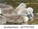 Newborn Cygnets In The Water