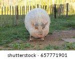 "Pink Female ""pot Bellied Pig""..."