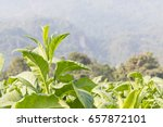 close up common tobacco  the... | Shutterstock . vector #657872101