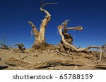 Dead trees of diversifolia populus in the desert of China - stock photo