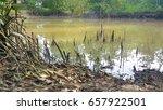 Broken Mangrove Tree Roots In...
