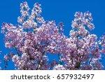 beautiful fresh purple violet... | Shutterstock . vector #657932497